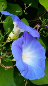 fall-morningglories