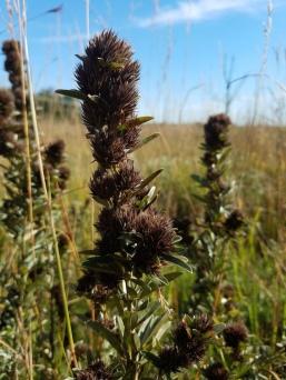 Prairie bush clover