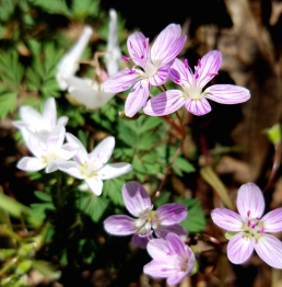 9. Spring Beauty